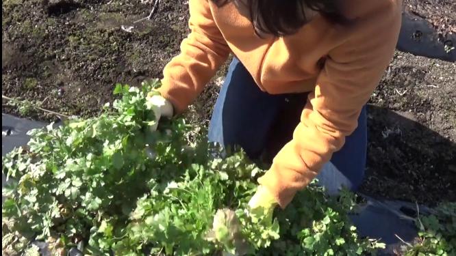 パクチーの収穫をするリコネクションTA&メンターの江藤美智子
